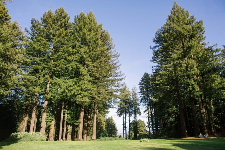 Wide angle view of entire back lawn and redwood trees with blue sky