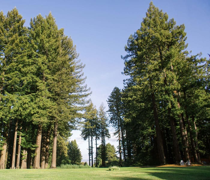 Wide angle view of back lawn redwood trees blue sky