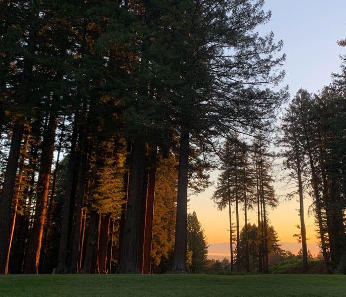 Redwood trees at dawn